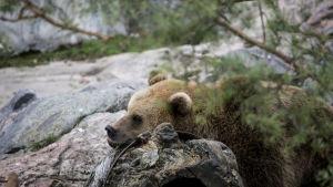 En brunbjörn på Högholmen