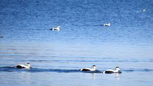 Gudingar simmar på blått vatten.