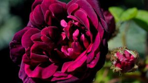 Den svartvinbärsfärgade mossrososen Nuits de Young.
