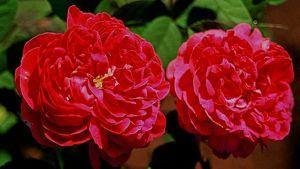 'Rose de Rescht' är en buskros som blommar rikligt med tätt fyllda blommor i intensivt karminrött eller ceriserosa. Denna fotograferad av Paul Zimmerman 2009.