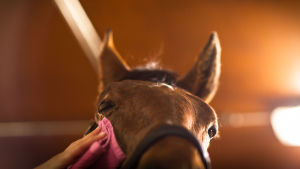 tyttö pyyhkii hevosen päätä