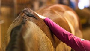 hevosen selkä