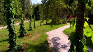Humala kasvaa Strömsön puutarhassa