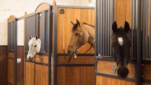 hevosia katsoo karsinoista