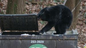 Björn som letar efter sopor vid en soptunna.
