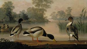von wright-brödernas målning på fåglar.
