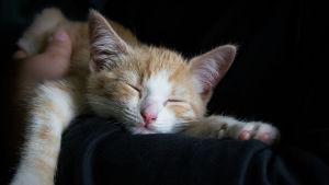 Katt som sover i en famn.