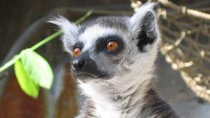 Lemur på skansen