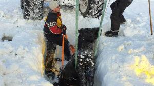 Islandshäst har grävst fram ur snömassor.