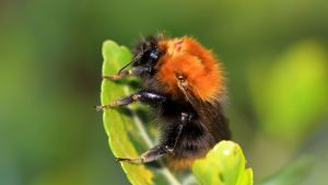 En humla sitter på ett blad. Största delen av humlans kropp är svart, men i rumpan och på skuldrorna är den orange.