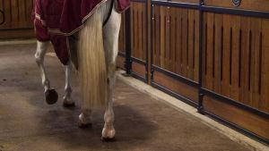 hevonen kävelee