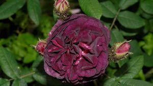 Den svartvinbärsfärgade mossrososen Nuits de Young i en ännu mörkare variant.