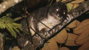 En träddasse på en trädgren som fotats med blixt i mörkret så att djurets ögon blivit röda.