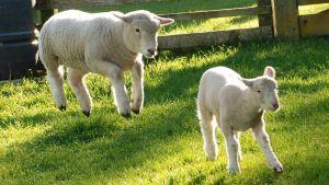 Två lamm som skuttar i gräset.