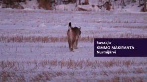 Uutisvideot: Ilves tallusteli Nurmijärveläisellä pellolla