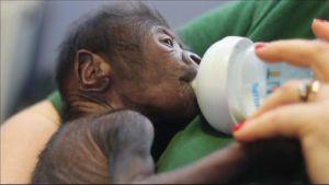 Uutisvideot: Gorillavauva syntyi harvinaisella keisarinleikkauksella