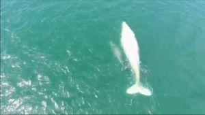 Uutisvideot: Meksikossa nähty harvinainen valkoinen valas