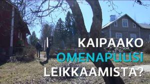 Uutisvideot: Kevätleikkaus auttaa omenapuuta – Kotitarhurin pikaohjeet minuutissa