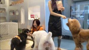 Uutisvideot: Lemmikkejä kuviotrimmataan Taiwanissa