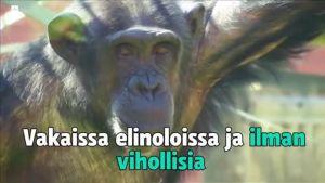 Uutisvideot: Simpansseille luodaan luonnollisempi elinympäristö eläintarhaoloihin