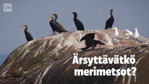 Uutisvideot: Merikotkat ovat oppineet saalistamaan merimetsoluodoilla