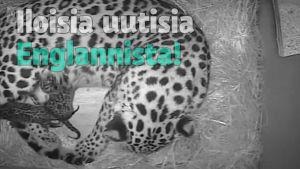 Uutisvideot: Uhanalainen amurinleopardi sai pentuja