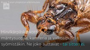 Yle Uutiset Häme: Näin vältyt hirvikärpäsiltä