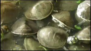 Uutisvideot: Kilpikonnanpoikasia vapautettiin luontoon Amazonilla