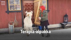 Yle Uutiset Häme: Börje on terapia-alpakka