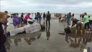 Uutisvideot: Sadat ihmiset auttamassa rantautuneita pallovalaita