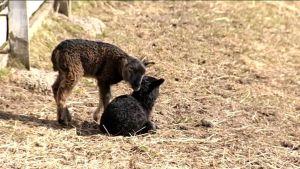 Uutisvideot: Pitkänperjantain suosikkieläimeksi nousivat lammas ja lehmä