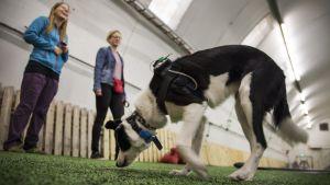 Uutisvideot: Koirille seitsemän tehtävää älylaitetestissä