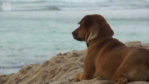 Uutisvideot: Eläinsuojelujärjestö: Turisteille kaupataan salaa koiranlihaa