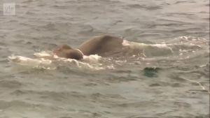 """Uutisvideot: Norsu ajautui merellä 15 kilometrin päähän rannasta - """"hinattiin"""" takaisin"""