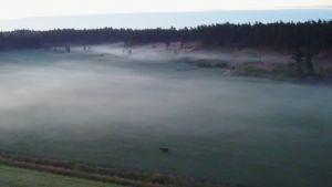 Uutisvideot: Upea näky tallentui drone-kuvaan Kirkkonummella - Parisenkymmentä hirveä tepasteli pellolla samaan aikaan