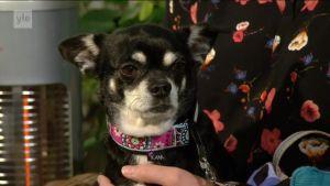 Ylen aamu-tv: Lyhytkuonoisten koirien hengitysvaikeudet