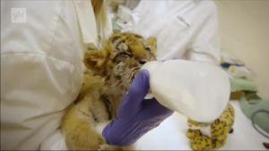 Uutisvideot: Kalifornialaisteini yritti salakuljettaa tiikerinpennun Meksikosta Yhdysvaltoihin