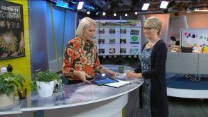Ylen aamu-tv: Sieniherkku voi olla myrkky
