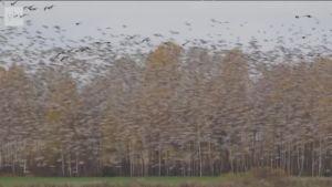 Uutisvideot: Elimäellä nähtiin poikkeuksellisen suuri hanhiparvi