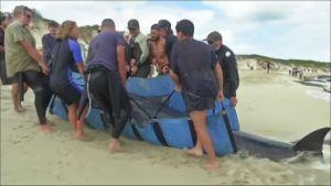 Uutisvideot: Australiassa pelastetaan valaita