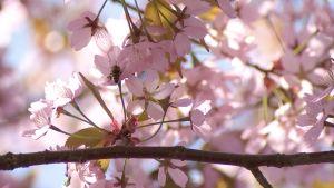 Kirsikkapuut kukkivat upeasti Itä-Helsingissä