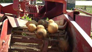 Uusien perunoiden ensipuraisu saadaan valmistujaisviikonloppuna