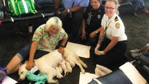 Opaskoira Ellie synnytti kahdeksan pentua Floridan lentokentälle