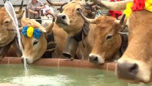 Lehmät pääsivät vehreämmille laitumille Ranskassa