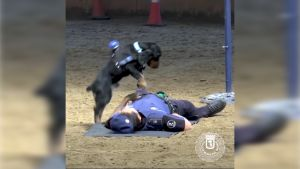 """Poncho hyppii ja kuuntelee sykettä  –  Espanjassa poliisikoira opetettiin """"elvyttämään"""""""