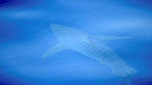 Espanjalaisjärjestö sanoo tehneensä havainnon valkohaista