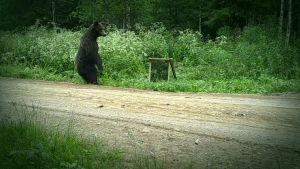 Karhu säikähtää peiliä