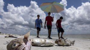 Floridassa julistettiin hätätila punainen vuorovesi -ilmiön vuoksi – rannoilta löydetty jopa 100 tonnia kuolleita mereneläviä