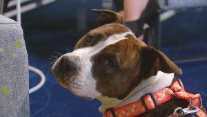Mitä tehdä lisääntyneille koirahyökkäyksille?