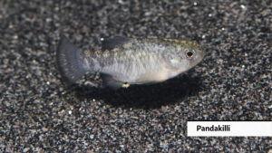 Makean veden kaloja ja sammakoita kuolee sukupuuttoon